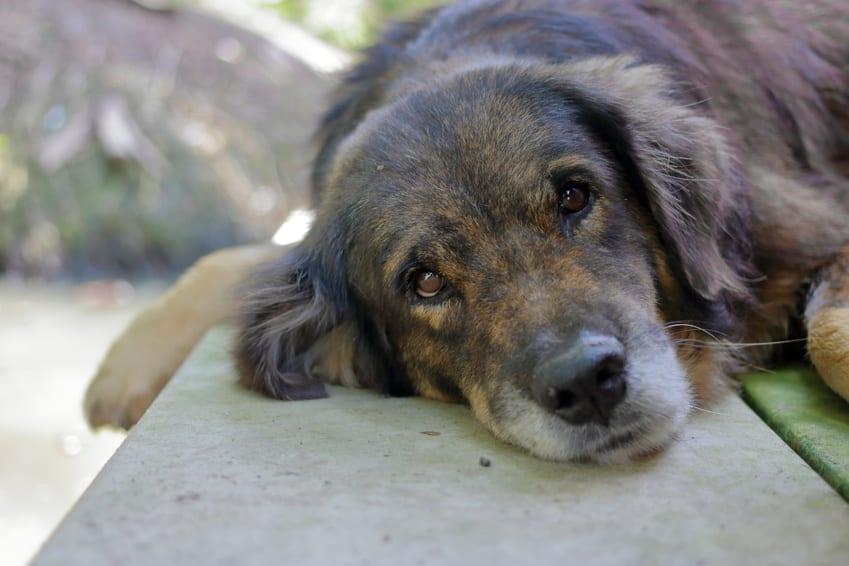 Senior dog, old dog